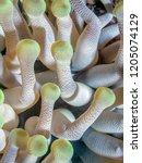 condylactis anemone condylactis ...   Shutterstock . vector #1205074129