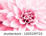 Dahlia Light Pink Flower Macro...