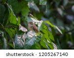the beautiful prinia is looking ... | Shutterstock . vector #1205267140