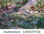 the beautiful prinia is looking ... | Shutterstock . vector #1205275726