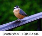 closeup of isolated chickadee... | Shutterstock . vector #1205315536