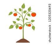 tomato plant flat design...   Shutterstock .eps vector #1205320693