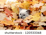 Stock photo cute baby kitten hiding in a pile of fall leaves 120533368
