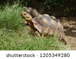 Stock photo close up african spurred tortoise resting in the garden slow life africa spurred tortoise 1205349280