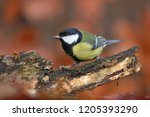 garden bird great tit  songbird ... | Shutterstock . vector #1205393290