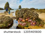 starfish on rock outcropping at ... | Shutterstock . vector #1205405830