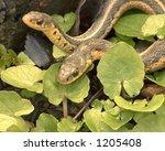 Two Garter Snakes.