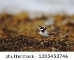 ringed plover on seaweeds | Shutterstock . vector #1205453746