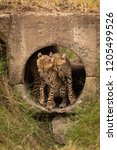 cheetah cubs nuzzle each other... | Shutterstock . vector #1205499526
