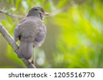 close up of a rufous bellied... | Shutterstock . vector #1205516770