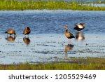 black bellied whistling ducks... | Shutterstock . vector #1205529469