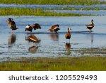 black bellied whistling ducks... | Shutterstock . vector #1205529493