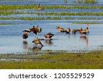 black bellied whistling ducks... | Shutterstock . vector #1205529529