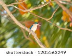 bird  collared kingfisher ... | Shutterstock . vector #1205563249