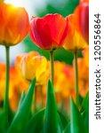 Beautiful Tulips Close Up