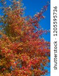 vibrant fall color  red  yellow ... | Shutterstock . vector #1205595736