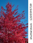 vibrant fall color in red... | Shutterstock . vector #1205595739