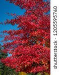 vibrant fall color  red  yellow ... | Shutterstock . vector #1205595760