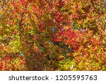 vibrant fall color as a nature... | Shutterstock . vector #1205595763