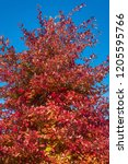 vibrant fall color  red  yellow ... | Shutterstock . vector #1205595766