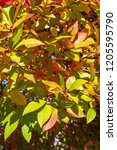 vibrant fall color as a nature... | Shutterstock . vector #1205595790