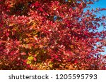 vibrant fall color  red  yellow ... | Shutterstock . vector #1205595793
