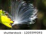 delicate white milkweed seed...   Shutterstock . vector #1205599393