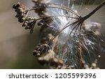 delicate white milkweed seed...   Shutterstock . vector #1205599396