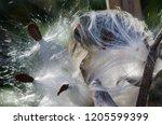 nature abstract  milkweed seed...   Shutterstock . vector #1205599399
