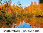 autumn deciduous forest in... | Shutterstock . vector #1205616106