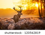 Stock photo red deer in morning sun 120562819