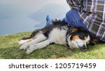 dog  miniature australian... | Shutterstock . vector #1205719459
