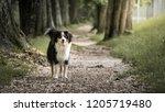 Dog  Miniature Australian...