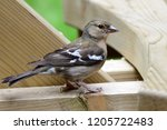 portrait of a common chaffinch... | Shutterstock . vector #1205722483
