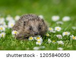hedgehog  small  cute  native ... | Shutterstock . vector #1205840050