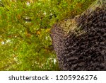 low angle shot of a big oak ... | Shutterstock . vector #1205926276