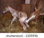 A Newborn Horse Standing Up Fo...