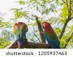 portrait of colorful scarlet... | Shutterstock . vector #1205937463