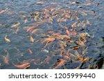 Carp Fish Are Chasing Food....