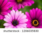 close up beautiful violet... | Shutterstock . vector #1206035830
