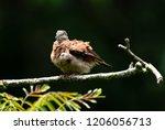 a puffy ruddy ground dove... | Shutterstock . vector #1206056713