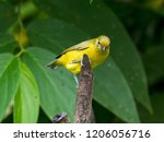 a female violaceous euphonia... | Shutterstock . vector #1206056716