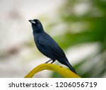 a male whiteline tanager... | Shutterstock . vector #1206056719