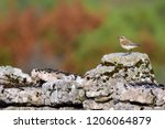 northern wheatear  looking for... | Shutterstock . vector #1206064879
