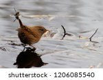 troglodytes troglodytes... | Shutterstock . vector #1206085540