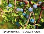 fresh organic blueberries grown ... | Shutterstock . vector #1206167206