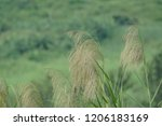 common reed  cane grass ...   Shutterstock . vector #1206183169