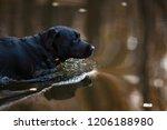a black labrador retriever is... | Shutterstock . vector #1206188980