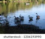 a small flock of swans feeding... | Shutterstock . vector #1206193990