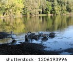 a small flock of swans feeding... | Shutterstock . vector #1206193996